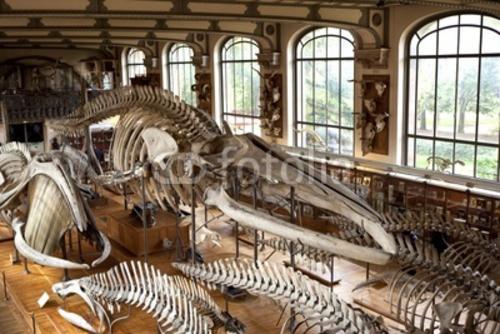 Bild auf Poster   musée museum histoire naturelle paris préhistoire os squel...